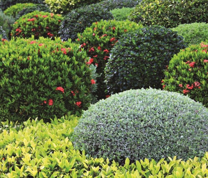 Manicured garden shrubs.